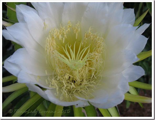 08-21-cactus-bloom