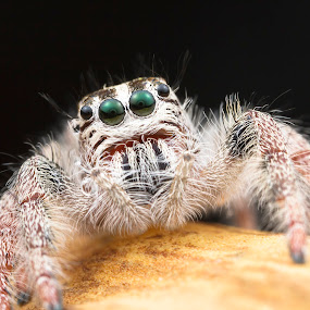 Jumping Spider oOOo by Asher Lwin - Animals Insects & Spiders ( macro, nature, jumping spider, closeup, eyes )