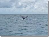 Avistamento-de-baleias-em-Abrolhos