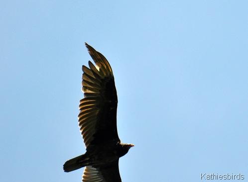 2. Turkey vulture-kab