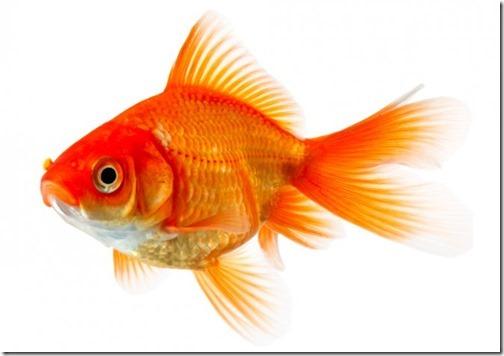 ca-vang-gold-fish (5)
