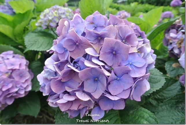 陽明山繡球花 (19)
