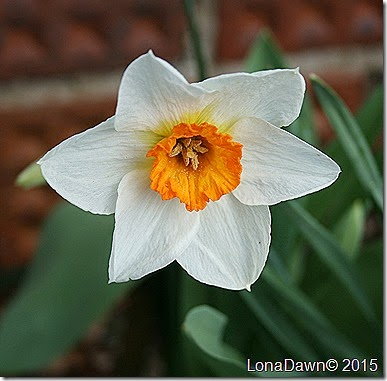 Daffodil Orange