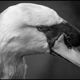 Swan by Dave Lipchen - Black & White Animals ( swan )