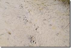 Gator & Racoon tracks