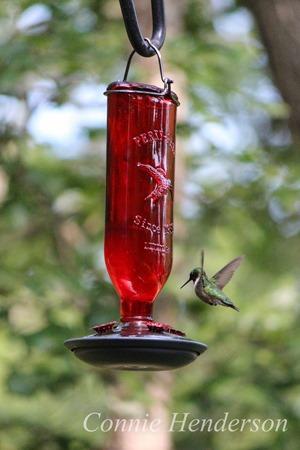 Hummingbird JUly 7 2015