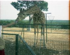 1983.06.25-040.03 girafe
