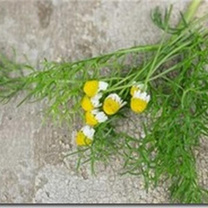 Hạt giống hoa cúc Đức ( Matricaria chamomilla )