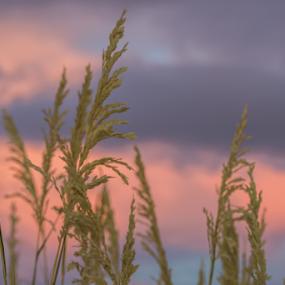 Sea Oats Sunrise by Sarah Noonan - Nature Up Close Leaves & Grasses ( macro, sea oats, sunrise )