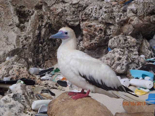 A red-footed booby on Christmas Island, in the Indian Ocean. Photo: Britta Denise Hardesty / CSIRO