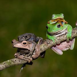 by Eko Probo D Warpani - Animals Amphibians ( animals, nature, frog, indonesia, nikon, cute, close up, kodok, amphibians )