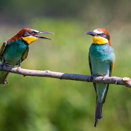 European bee eater by Andrej Kozelj - Animals Birds ( bee eater, bee, natural, nature, european, bird, birds, wild, wildlife )