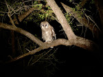 Verreaux's eagle-owl (photo by Clare) - night drive at Kruger National Park