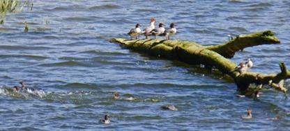 Quillayute River, Ducks