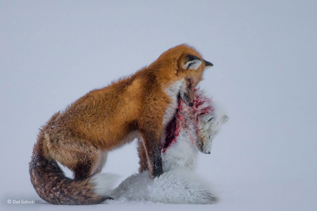 'A tale of two foxes' shows a red fox preying on an Arctic fox in Wapusk National Park, Cape Churchill, Manitoba, Canada. Photographer Dan Gutoski won the 2015 Wildlife Photographer of the Year award from the Natural History Museum of London. Photo: Dan Gutoski