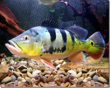 be-ca-canh-peacock_cichlid_pacock_bass_cahoangde-be-thuy-sinh