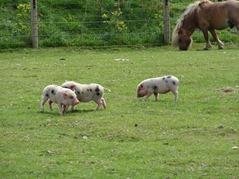 201506.21-046 les 3 petits cochons