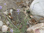 Texas Toadflax, Buehman Canyon 4/22