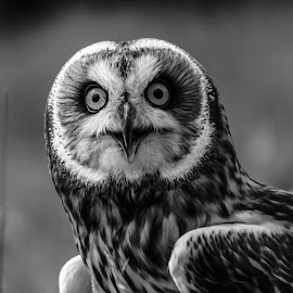 Owl by Garry Chisholm - Black & White Animals ( bird, garry chisholm, nature, black and white, wildlife, prey, short eared owl )