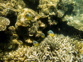 A small school of nice fish in the coral.