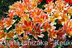 Glória Ishizaka - Keukenhof 2015 - tulipa 54