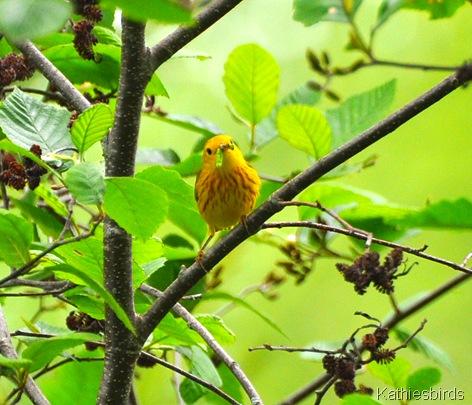 6. yellow warbler-kab