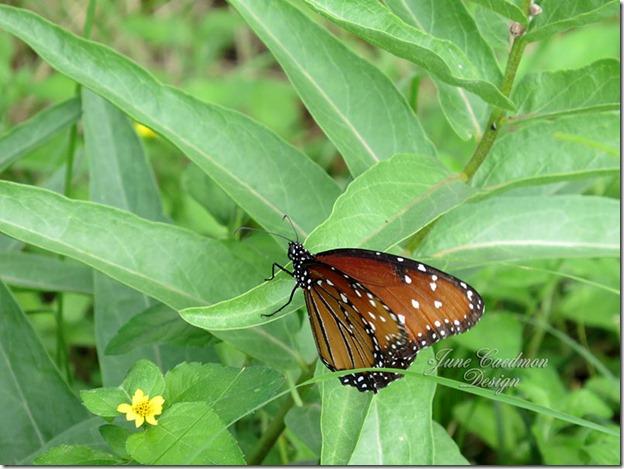 Queen_Butterfly2