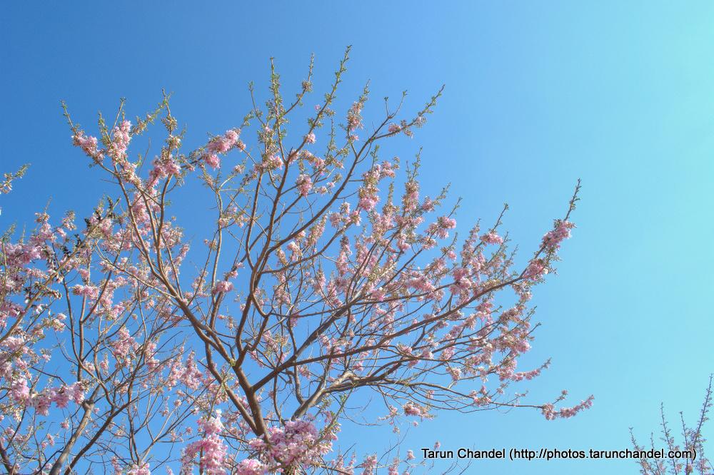 Pink Flowers , Tarun Chandel Photoblog