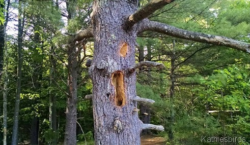 14. woodpecker holes 6-14-15