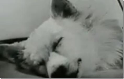 Aterrador experimento, perro con dos cabezas
