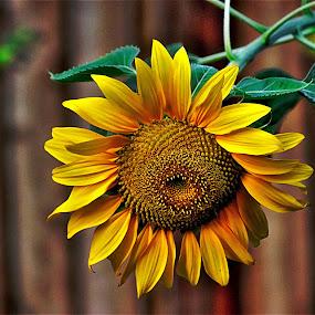 by Bruce Newman - Flowers Single Flower ( vivid color, single flower, sunflower, summer flower, flower photography,  )