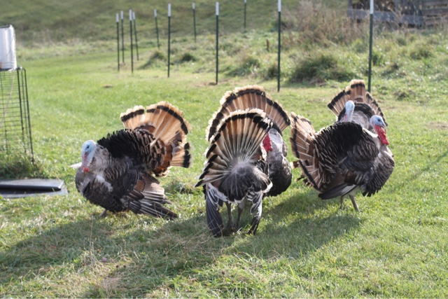 flock of Sweetgrass turkey toms strutting their stuff