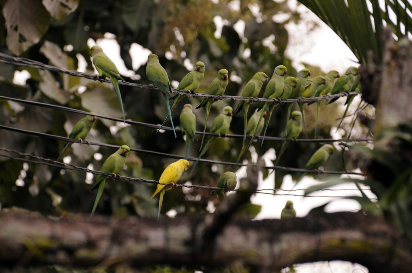 The Rose-ringed Parakeet is
