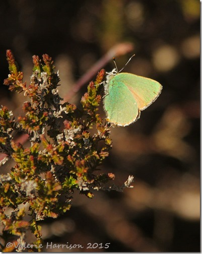 25-Green-Hairstreak