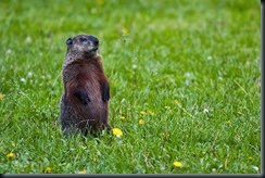 1024px-Groundhog-Standing2