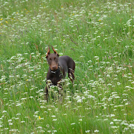 Rosa Poser. by John Wiseman - Animals - Dogs Playing
