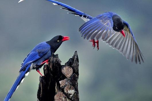 Taiwan Blue Magpie (Urocissa caerulea) 18