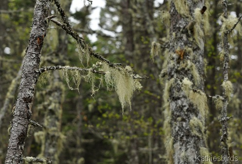 7. bearded moss-kab