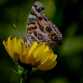Can You See Me Now by Janice Mcgregor - Animals Other ( butterfly, detail, insect, posing, spring, looking, macro, sitting, nature, outdoors, summer, flower, outside )