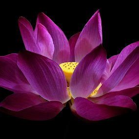 Glow by Suehana SuZie - Nature Up Close Flowers - 2011-2013 ( lotus, stock, nature, close up, flower, watter lilies,  )