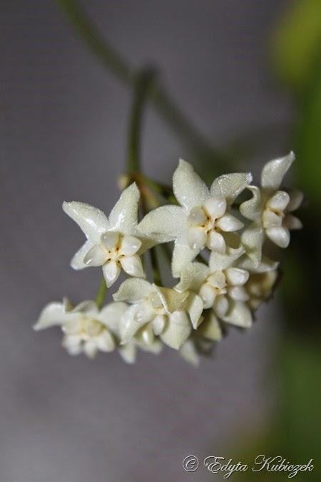 Hoya pimenteliana
