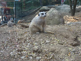 A meerkat at the Nashville Zoo 09032011d