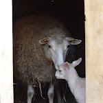 Parc de la Maison de Chateaubriand : brebis et agneau