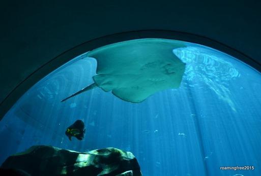 Giant Manta Ray overhead