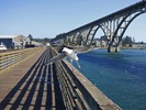 Seagull with Yaquina Bay Bridge in background