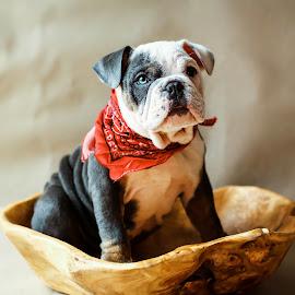 Lily by Sharon Fuscellaro Canale - Animals - Dogs Portraits ( bulldog, bandana, puppy, dog, english )