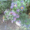 October 12th Bees on Asters.jpg