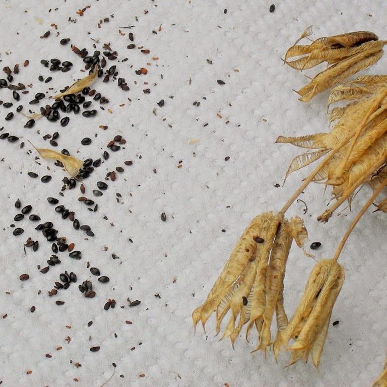 aquilegia seed
