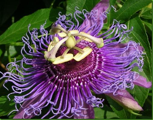 Passiflora amethystina small