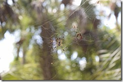 Spiders sharing a web